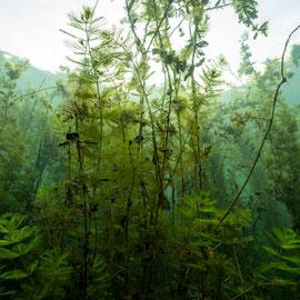 Das Tausendblatt (Myriophyllum scabratum) bildet im Sommer einen veritablen Unterwasserdschungel. © Robert Hansen
