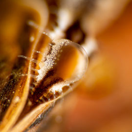 Der farbenfrohe Sipho einer Quaggamuschel (Dreissena rostriformis) ist wenige Millimeter gross. © Robert Hansen