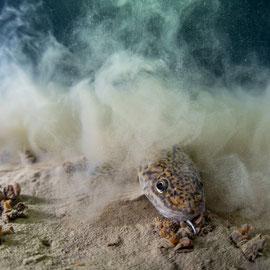 Eine Trüsche (Lota lota) wirbelt mit der Schwanzflosse Sediment auf und verschwindet gleich darunter. © Robert Hansen