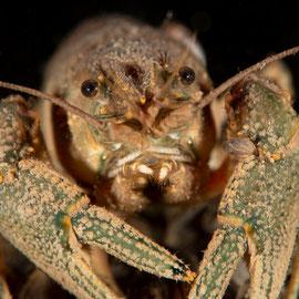 Der Kamberkrebs (Orconectes limosus) weiss nicht so recht ob er angreifen oder sich zurückziehen soll. © Robert Hansen