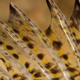 Das ist dem Kaulbarsch (Gymnocephalus cernua) dann doch zu nahe, der seine Rückenflosse drohend aufstellt. © Robert Hansen