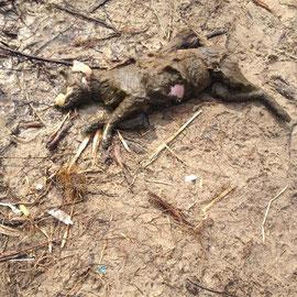 19.04.2013  Toter Hund am Auslaufgebiet Pichelswerder 13595