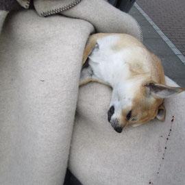 Brauner Kurzhaar Chihuahua gefunden in der Hansastr./Darßerstr.Neu-Hohenschönhausen
