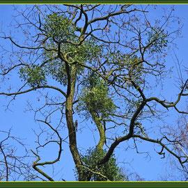 MIsteln auf Robinie (Robinia pseudoacacia) Fund Du-Homberg Hakenfeld-Park, Datum: 16.02.2018