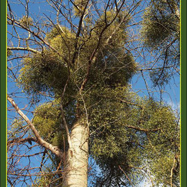 Starker Mistel-Befall an Kanadischer Pappel (Populus canadensis), Fund Schutzpflanzung, Duisburg-Rahm, Datum: 21.01.2018