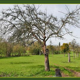 Durch Mistel-Befall abgestorbener Apfelbaum, Fund NSG Friemersheimer Rheinaue, Datum:07.04.2018