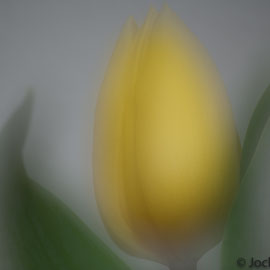 Tulpe scharf und defokussiert