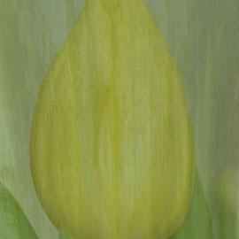 Tulpe und Tulpenblatt