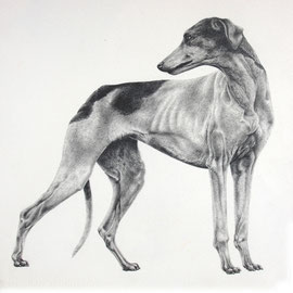 Greyhound - 35x55- matita nera