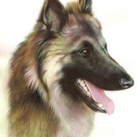 Majar, cane da pastore belga - tecnica mista acquarelli, tempere, pastelli - 20x30