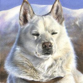 Kush, il mio husky bianco - tecnica mista acquarelli, tempere, pastelli - 30x40