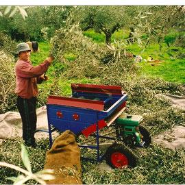 La récolte des olives se fait toujours à la main.