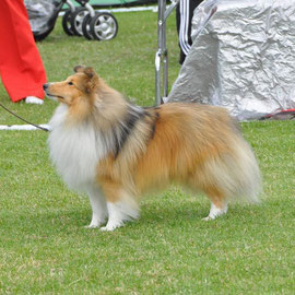 Ch Irish Legend of Navarrem Top Irish Sheltie 2013 & Top Male Dog owned by Mr E Castillo & Mr P Fortune - Navarrem Shelties
