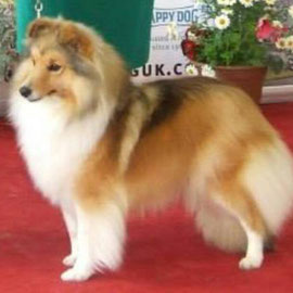 Ch Longrange Scarlett Ohara - Top Sheltie Bitch 2013 owned by Mrs C Dunne - Longrane Shelties