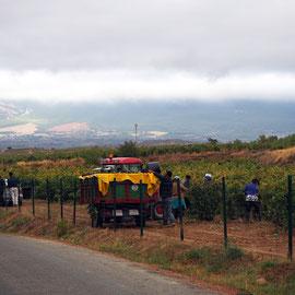 la vendimia = die Weinlese ist in vollem Gang