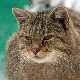 Wildkatzen dorf Hütscheroda