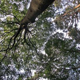 広葉樹の大木ー2