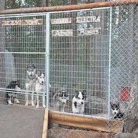 Schlittenhunde im Zwinger