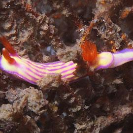 Hypselodoris whitei