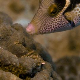 False Puffer - Mimikry-Feilenfisch - Paraluteres prionurus