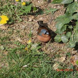 Buchfink - Männchen