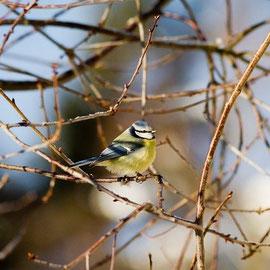 Blaumeise Vogelbeobachtung in Mecklenburg