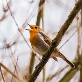 Rotkehlchen Vogelbeobachtung in Mecklenburg