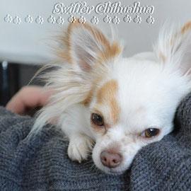 Chi-Love.de  | Die Seite für Chihuahua-Eltern! | BLOG | Magazin | Swiffer Chihuahua