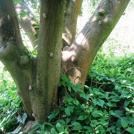 みかんの木の下には、セミが一杯