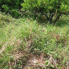 伊予柑畑で雉が卵を産んでいます。
