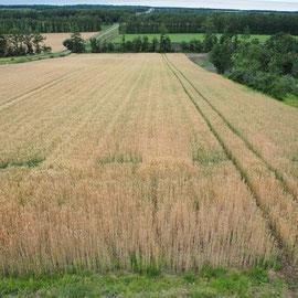 一面に広がる麦畑