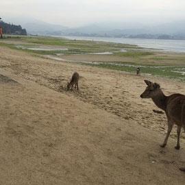 原爆ドームは修復中。宮島では鹿さんにご挨拶。