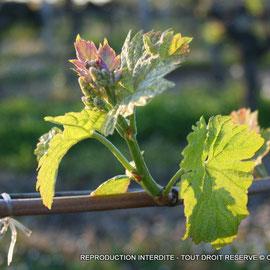 Cadillac Côte de Bordeaux, jeune pousse de vigne, vignoble sur Cénac.