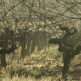 Rosée du matin sur le Vignoble du Château du Garde, Cénac