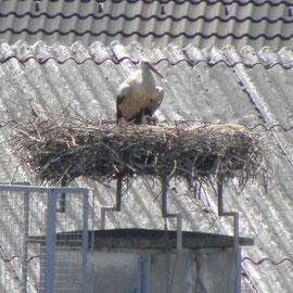 In Grein sind nur zwei Jungstörche zu sehen, der Dritte liegt im Nest Foto: Robert Gattringer