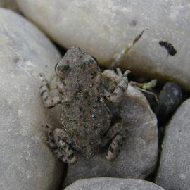 Metamorphling der Wechselkröte, Foto: Jung, Naarn