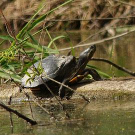 Schildkröte Foto Gerald Puchberger