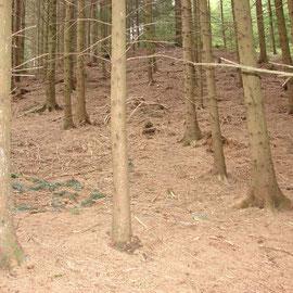 Aufgrund der fehlenden Krautschicht kommt es in Fichtenforsten zu Bodenerosion.
