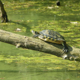 Gelbwangenschmuckschildkröte Foto: Georg Kaindl