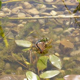 Große Königslibelle bei der Eiablage