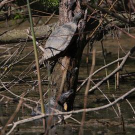 Schildkröten Foto Gerald Puchberger