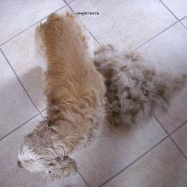 Das Kastratenfell läßt sich durch ein ca. 1-1,5 Std. langes Carding wieder aufhübschen. Statt den Hund mit der Schermaschine zu scheren, wird das Fell hier mit dieser Technik aufgearbeitet. Die Haut bekommt wieder Luft und der Hund bleibt Hund.