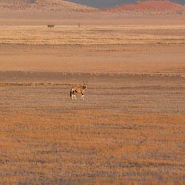 Ein Oryx, das in Namibia geboren wird, kommt mit 1 Liter Wasser im Jahr aus - nicht zum Duschen, zum Trinken