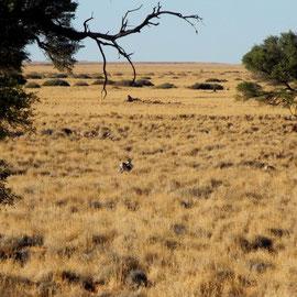 Was läuft denn da vorbei? Eine Oryx-Antilope. Die gibt´s auch zum Abendessen
