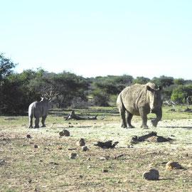 Mutter Rhino mit Kind - sind die dick, Mann
