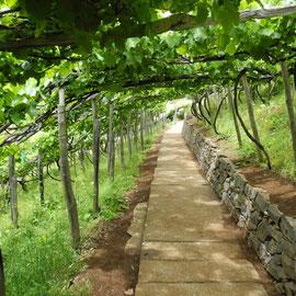 So wird hier der Wein angebaut: über den Köpfen der Anwohner