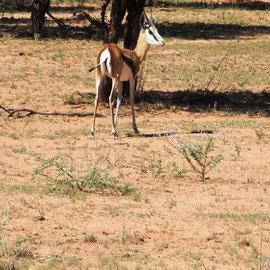 Eine Impala-Antilope