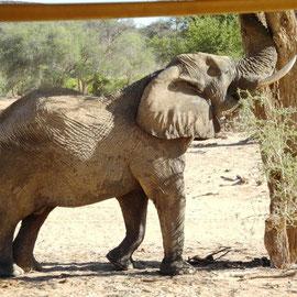 Und da ist er: der Wüstenelefant mit den größten Füßen und Ohren in Afrika.