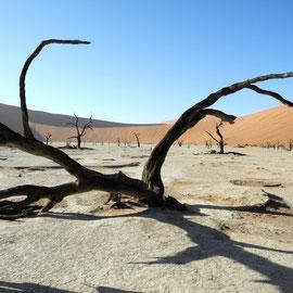 Die Kameldornbäume ohne Kamele und auch ganz ohne Dornen