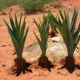 Auf dem weiteren Weg finden wir eine Pflanze, die aussieht wie Porree.